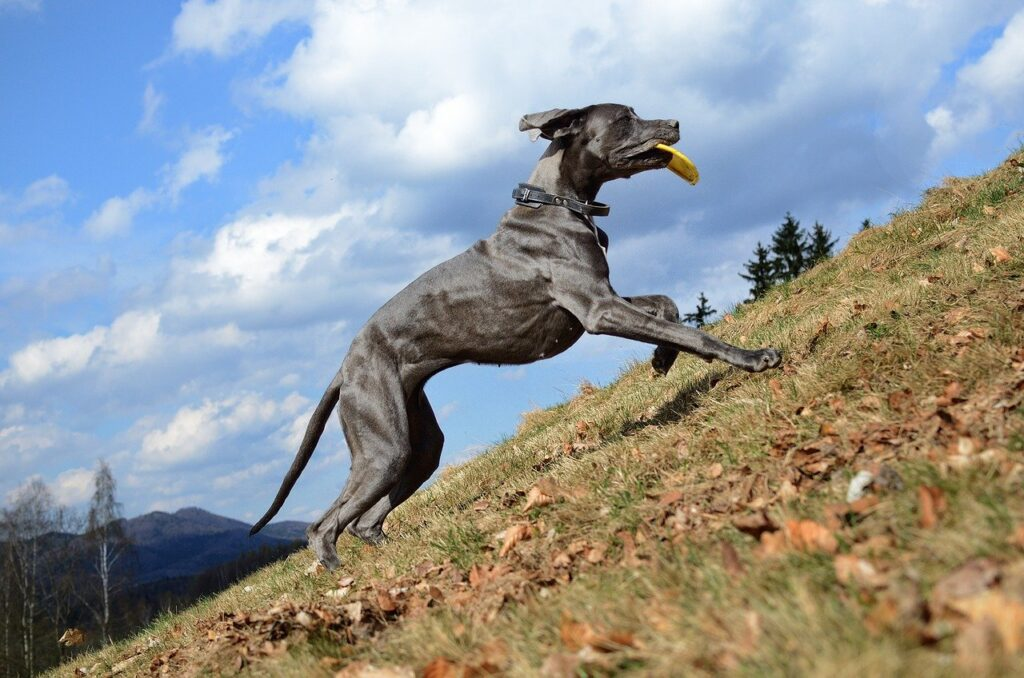 A great dane running up a hill. Running hills makes you stronger.