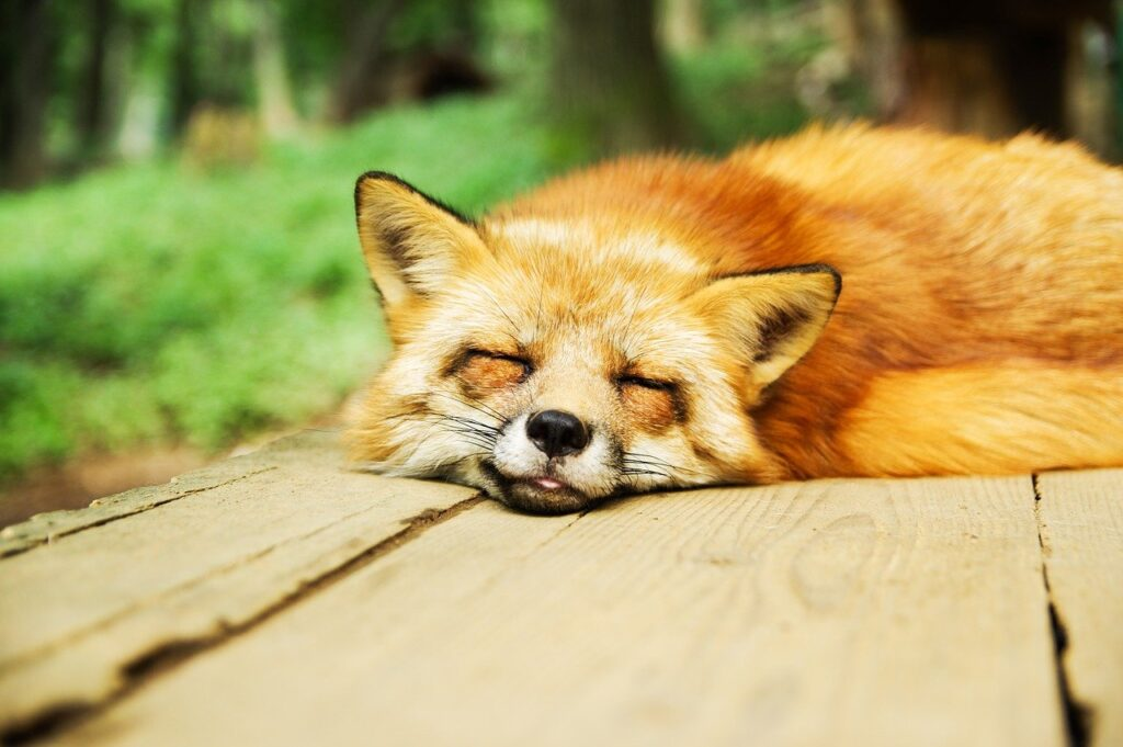 A fox sleeping, which is the best form of recovery.